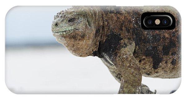 Marine Iguana Male Turtle Bay Santa IPhone Case