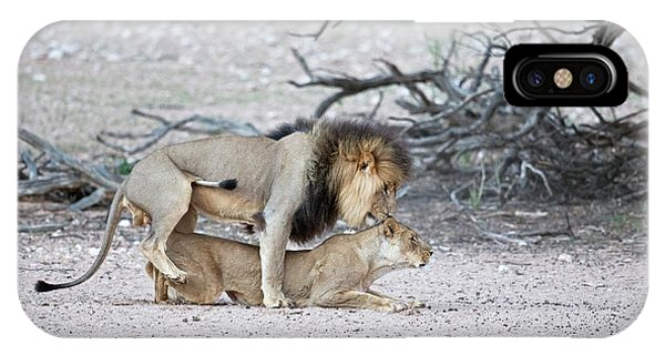 Behaviour iPhone Case - Mating African Lions by Tony Camacho