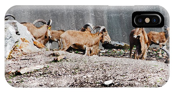 Meeting Of Barbary Sheep IPhone Case