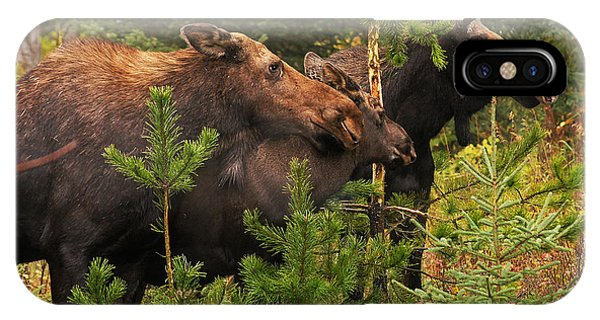 Moose Family At The Shredded Pine IPhone Case