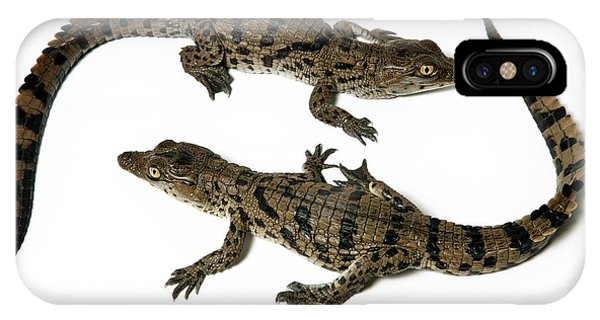 Crocodile iPhone Case - Nile Crocodile Hatchlings by Pascal Goetgheluck/science Photo Library