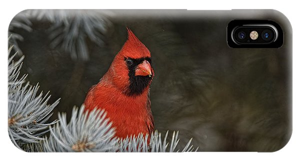 Northern Cardinal In Spruce Tree IPhone Case