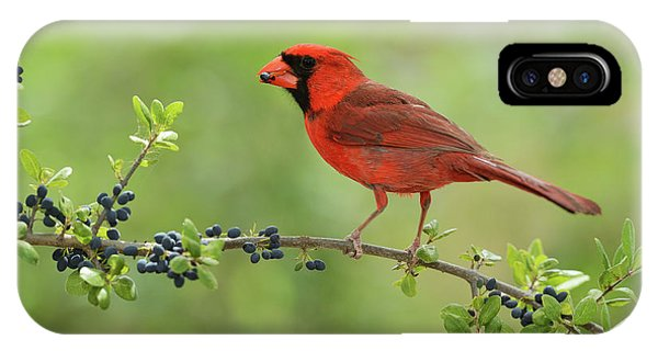 Blue Berry iPhone Case - Northern Cardinal Male Eating Elbow by Rolf Nussbaumer