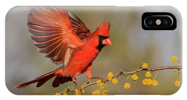 Northern Cardinal Male Landing Phone Case by Larry Ditto