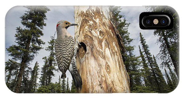 Northern Flicker iPhone Case - Northern Flicker At Nest Cavity by Michael Quinton