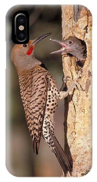 Northern Flicker iPhone Case - Northern Flicker At Nest by Richard R Hansen