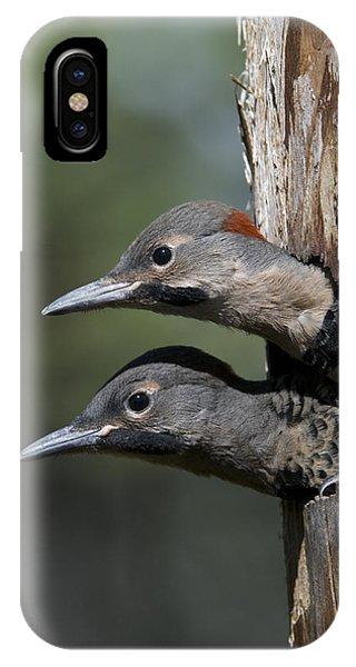 Northern Flicker iPhone Case - Northern Flicker Chicks In Nest Cavity by Michael Quinton