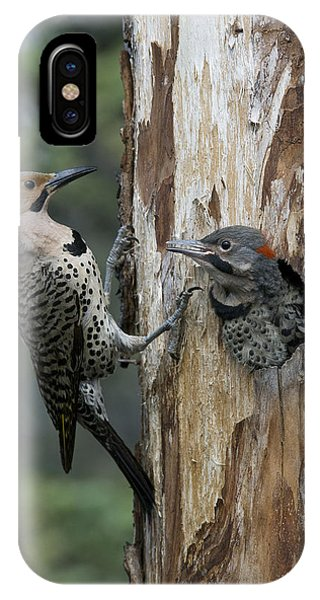 Northern Flicker iPhone Case - Northern Flicker Parent At Nest Cavity by Michael Quinton