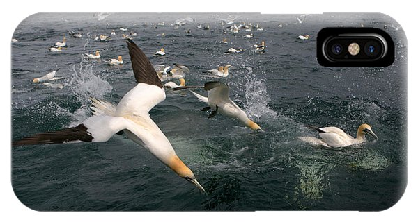 Northern Scotland iPhone Case - Northern Gannets Fishing by Thomas Hanahoe