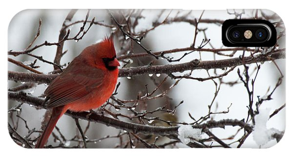 Northern Red Cardinal In Winter IPhone Case