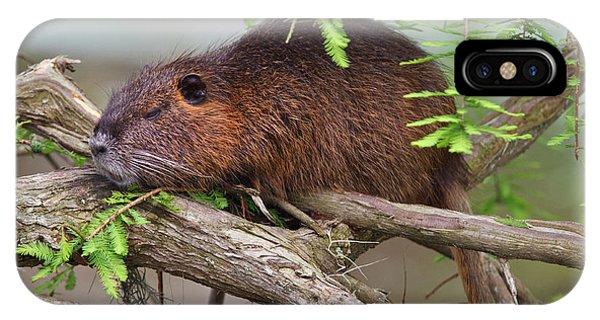 Bald Cypress iPhone Case - Nutria (myocastor Coypus by Larry Ditto
