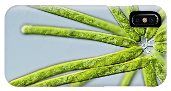Ophiocytium Sp. Heterokont Alga IPhone Case