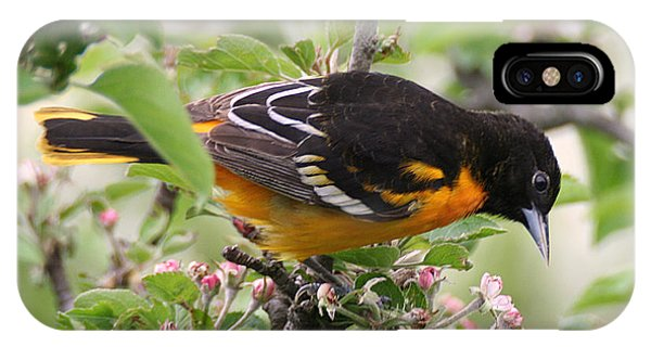 Oriole With Apple Blossoms IPhone Case