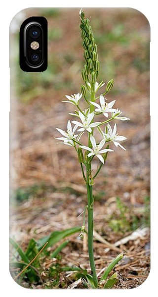 Ornithogalum Narbonense In Flower IPhone Case