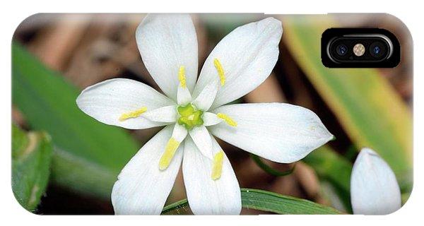 Ornithogalum Umbellatum Flower IPhone Case