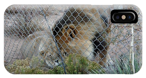 Out Of Africa Lions 4 IPhone Case