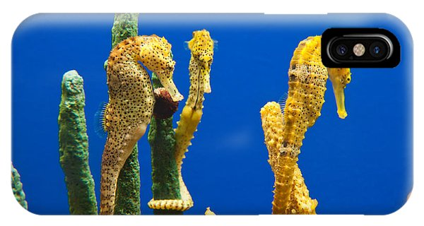 Monterey Bay Aquarium iPhone Case - Pacific Seahorses Hippocampus Ingens Are Among The Giants Of Their World by Jamie Pham