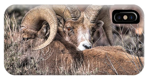 Peekaboo Bighorn  IPhone Case