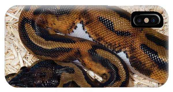 Eye Ball iPhone Case - Piebald Royal Python by Nigel Downer