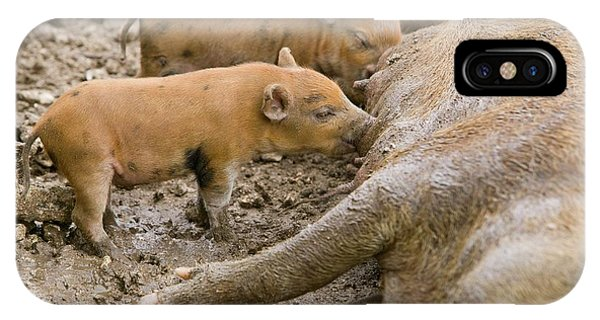 Pigs Reared For Pork On Tuvalu IPhone Case