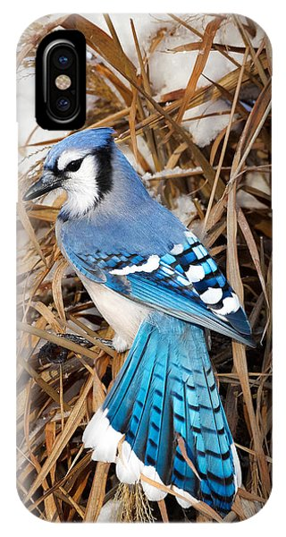 Portrait Of A Blue Jay IPhone Case