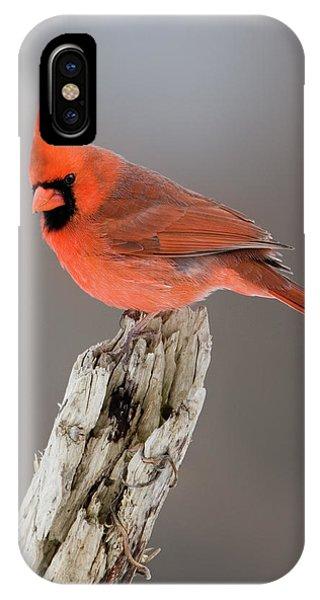 Portrait Of A Cardinal IPhone Case