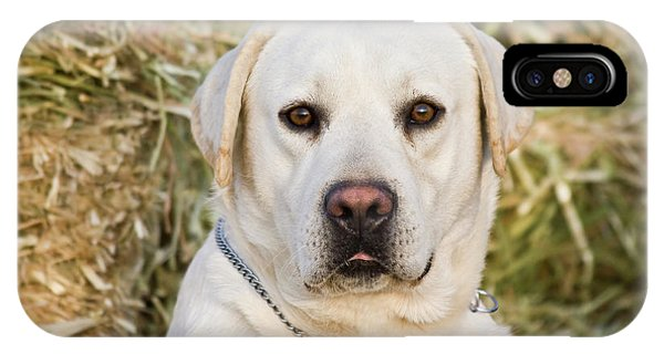 Yellow Lab iPhone Case - Portrait Of A Yellow Labrador Retriever by Zandria Muench Beraldo