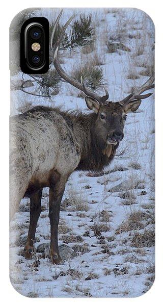 Elk Bull In Wind Cave National Park IPhone Case