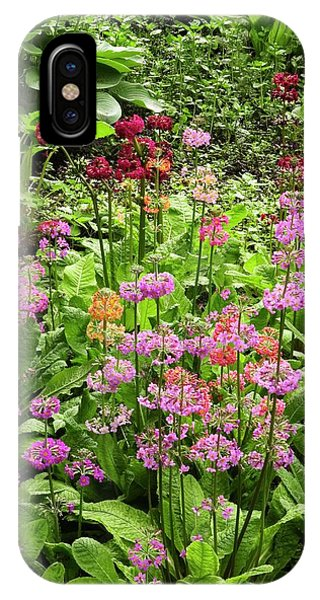 Hybrid iPhone Case - Primula 'harlow Carr Hybrids' Flowers by Adrian Thomas