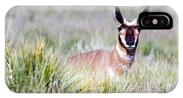 Pronghorn Buck In Prairie Grasses IPhone Case