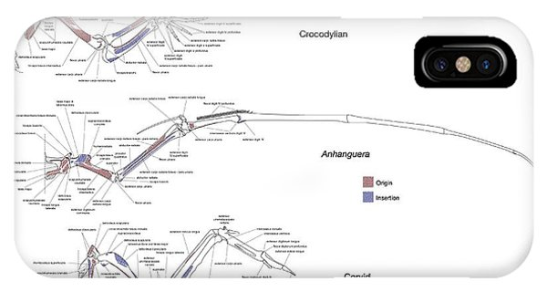 Crocodile iPhone Case - Pterosaur Forelimb Comparison by John Conway/science Photo Library