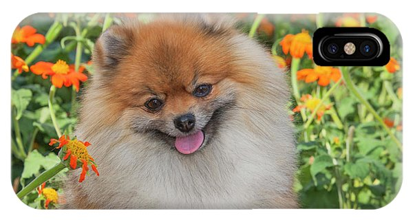 Pomeranian iPhone Case - Purebred Pomeranian Sitting Among by Piperanne Worcester