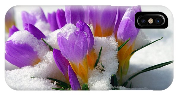 Purple Crocuses In The Snow IPhone Case