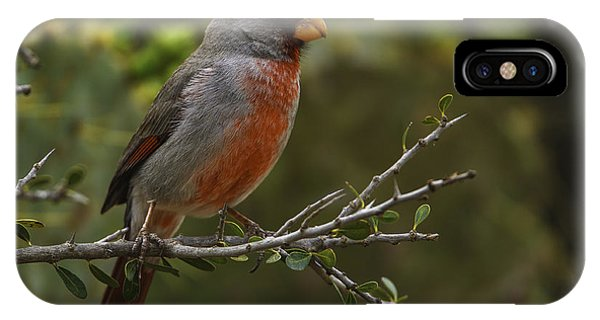 Pyrrhuloxia Portrait IPhone Case