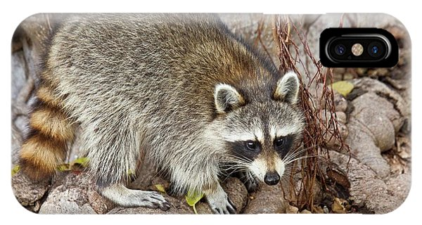 Raccoon Foraging For Food Phone Case by Bob Gibbons
