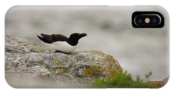 Razorbill iPhone Case - Razorbill Alca Torda, A Big Diving Bird by Jose Azel