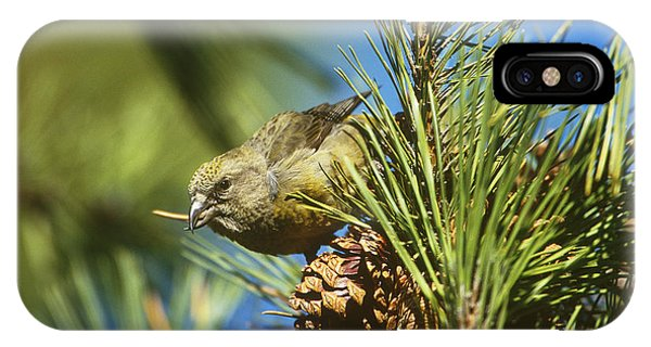 Red Crossbill Eating Cone Seeds IPhone Case