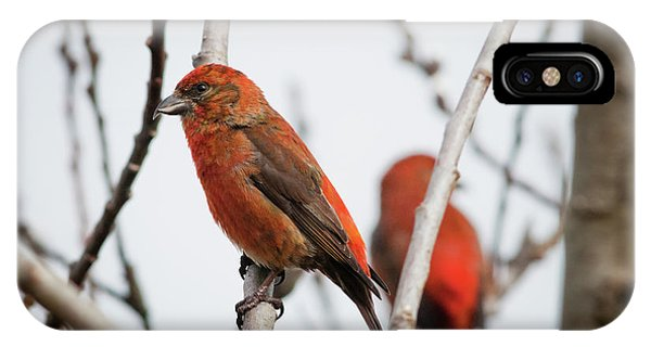 Red Crossbills Perch In A Willow IPhone Case