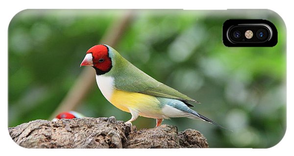Red Headed Gouldian Finch IPhone Case