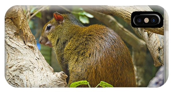 Red-rumped Agouti IPhone Case