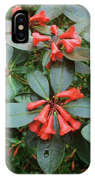 Rhododendron Atlanticum Flowers Phone Case by Alan Punton Esq/science Photo Library