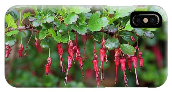 Deciduous iPhone Case - Ribes Speciosum by Geoff Kidd/science Photo Library