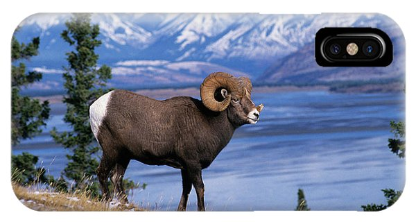 Rocky Mountain Bighorn Sheep iPhone Case - Rocky Mountain Bighorn Ovis Canadensis by Animal Images