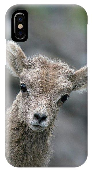 Rocky Mountain Bighorn Sheep iPhone Case - Rocky Mountain Bighorn Sheep Lamb by Ken Archer