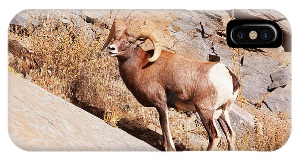 Rocky Mountain Bighorn Sheep iPhone Case - Rocky Mountain Bighorn Sheep, One Ram by Piperanne Worcester