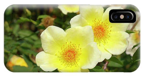 Golden Gardens iPhone Case - Rose (rosa 'golden Wings') by Brian Gadsby/science Photo Library