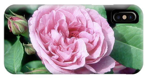 Deciduous iPhone Case - Rose (rosa Sp.) by Neil Joy/science Photo Library
