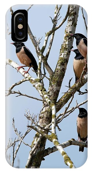 Rosy Starling (sturnus Roseus) IPhone Case