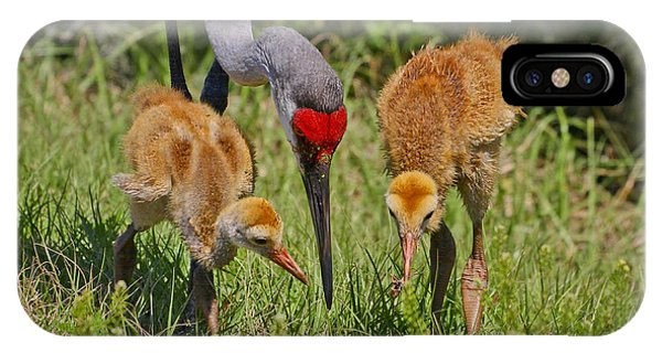 Sandhill Crane Family Feeding IPhone Case