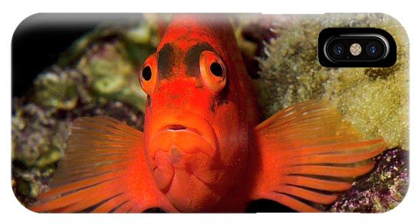 Scarlet iPhone Case - Scarlet Hawkfish Or Flame Hawkfish by Nigel Downer